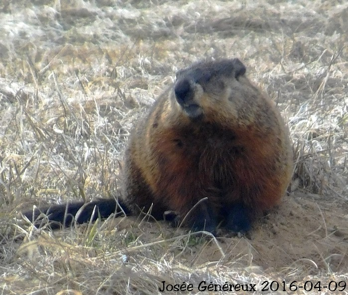 C'est la seule qui s'est approché de moi pour une photo aujourd'hui ... Une marmotte Marmot10