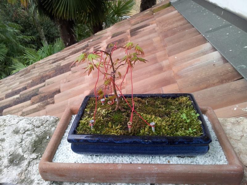 il mio bonsai 20160310