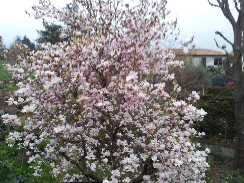 bonsai di glicine o magnolia 20160311