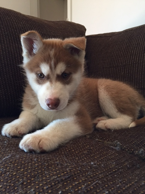 Our new husky pup! And questions about ears! Img_1725