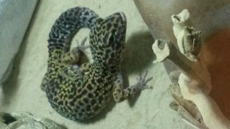 1 oeil fermé - Gecko Leopard 20160314