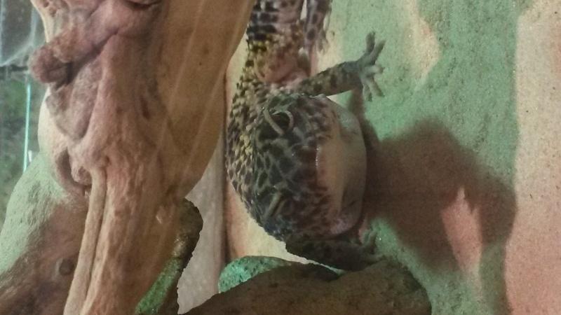 1 oeil fermé - Gecko Leopard 20160315