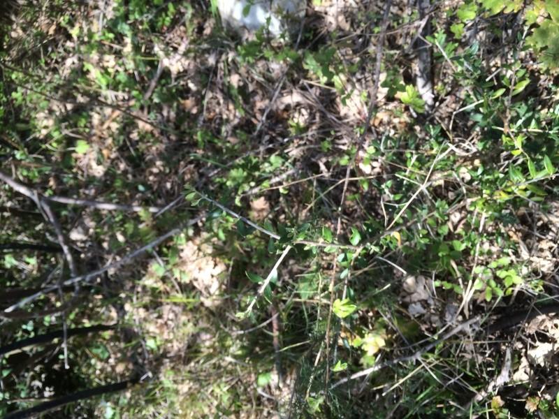 Olivo selvatico in campo ...aiuto Image12