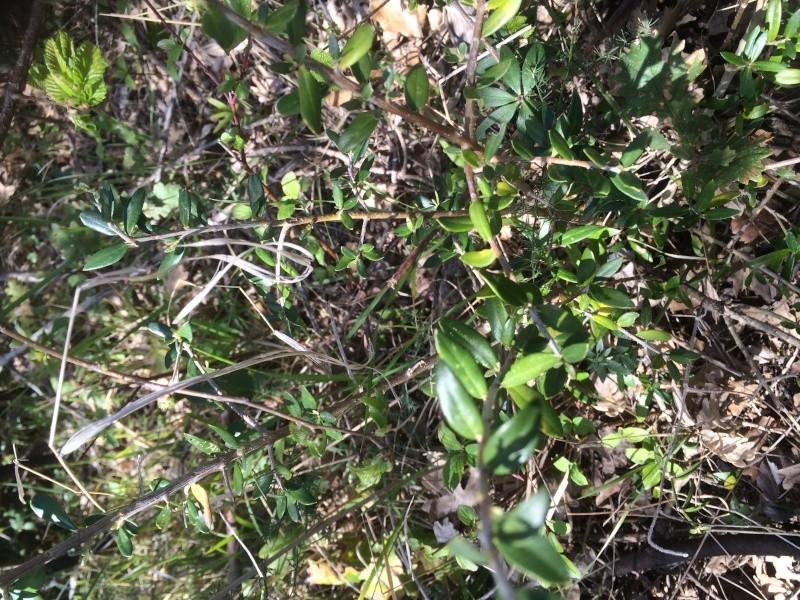 Olivo selvatico in campo ...aiuto Image13