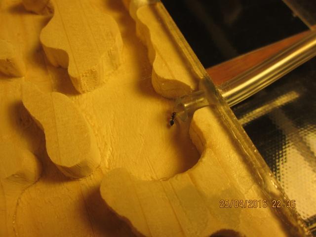 Construction d'une fourmilière pour des crematogaster scutellaris. Img_7513