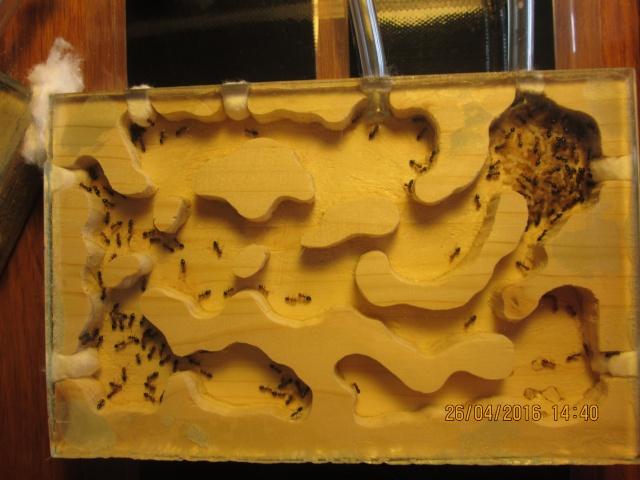 Construction d'une fourmilière pour des crematogaster scutellaris. Img_7521