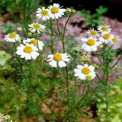 [Plantes] Camomille romaine 5504-111