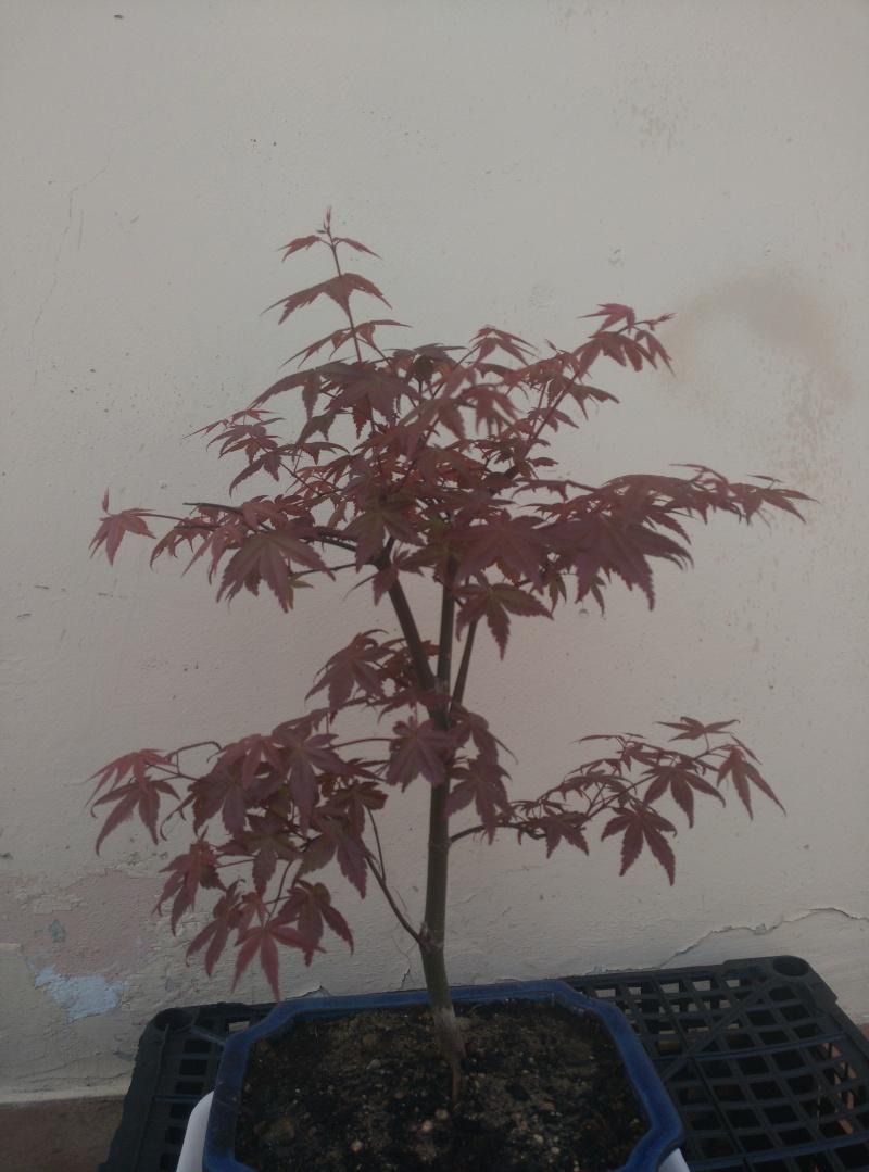 Consigli per un Acero rosso Img_2014