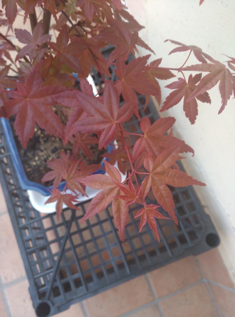 Consigli per un Acero rosso Img_2015