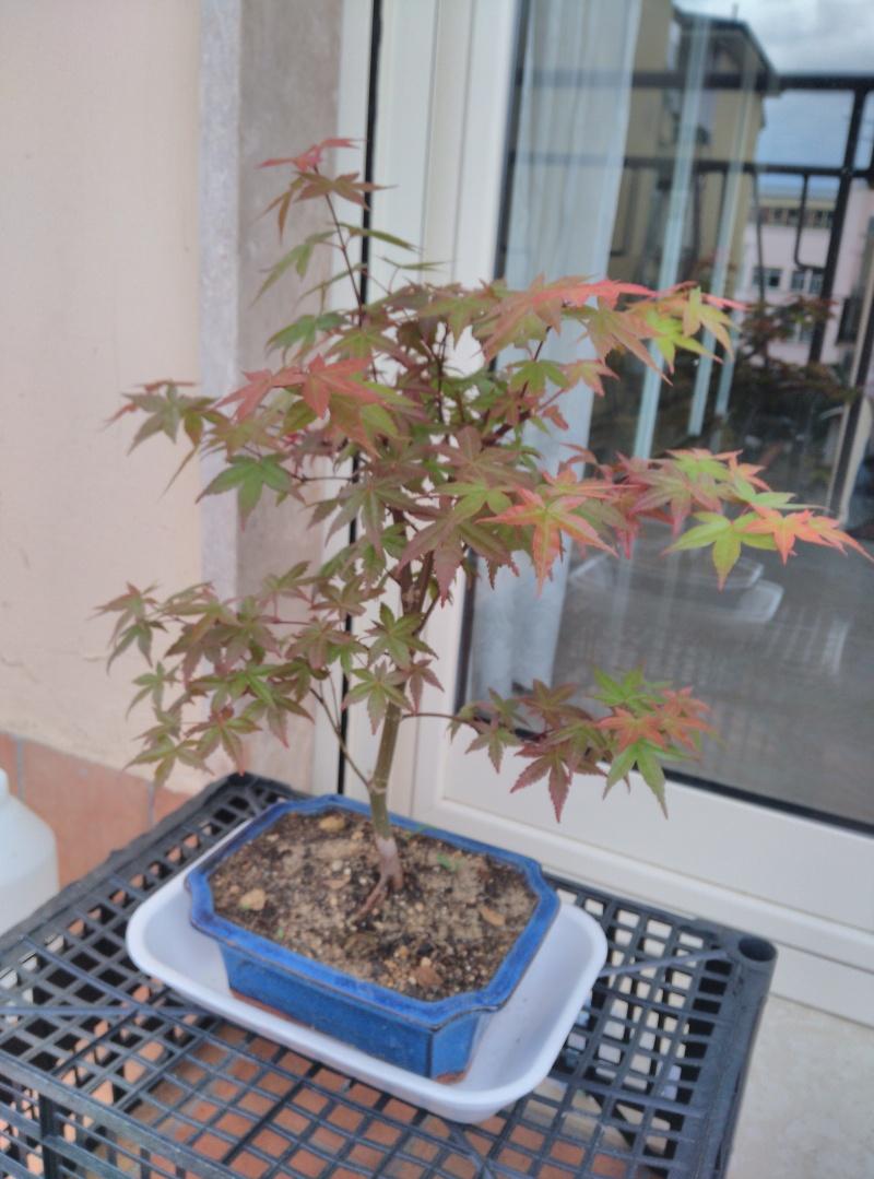 Consigli per un Acero rosso Img_2019