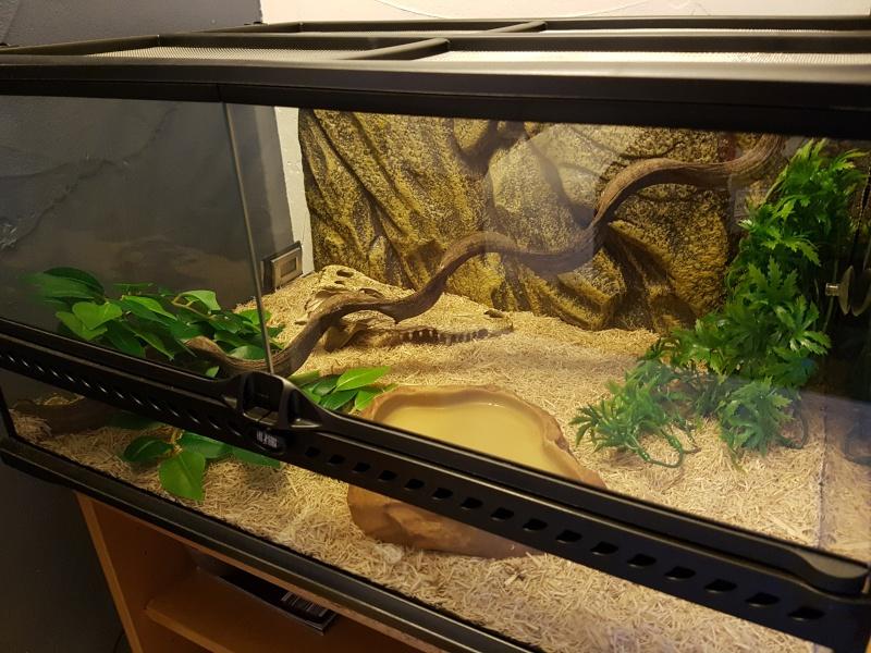 Terrarium pour pantherophis guttatus juvénile 20160413