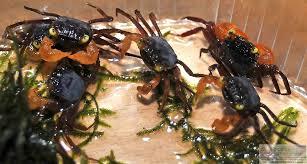 Quel crabe pour votre paludarium ? Geoses10