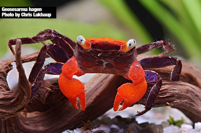 Quel crabe pour votre paludarium ? Geoses11