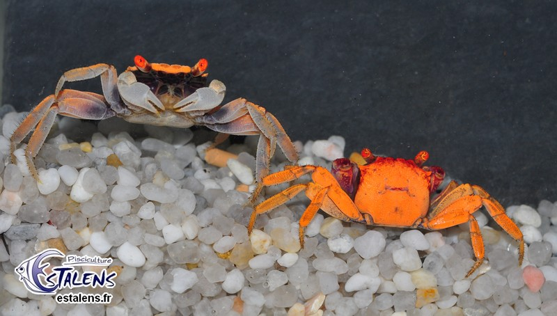 Quel crabe pour votre paludarium ? Geoses13
