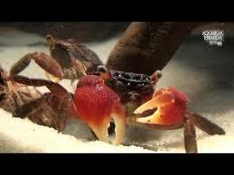 Quel crabe pour votre paludarium ? Sans-t10
