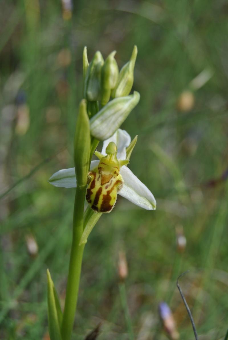 Ophrys apifera : forme de labelle et couleur étranges Dsc_0910