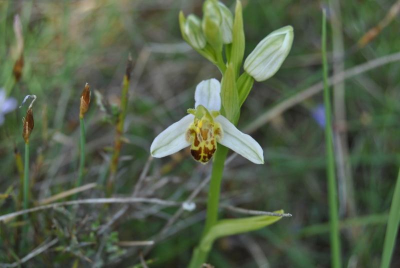 Ophrys apifera : forme de labelle et couleur étranges Dsc_0912