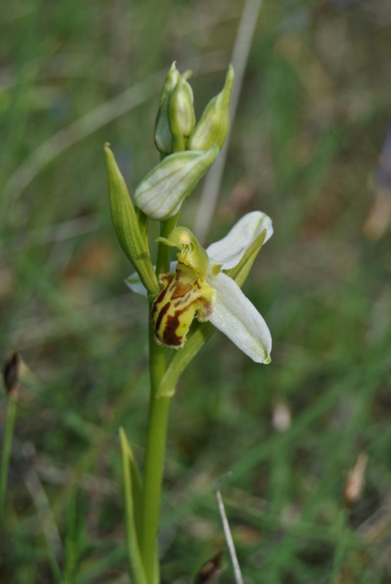 Ophrys apifera : forme de labelle et couleur étranges Dsc_0914