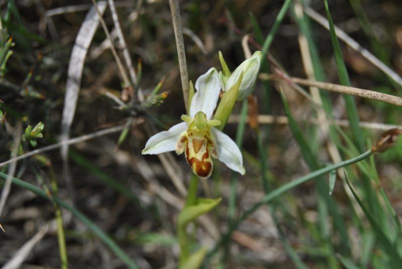 Ophrys apifera : forme de labelle et couleur étranges Dsc_1110