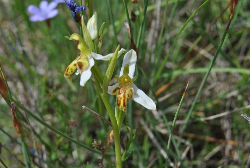 Ophrys apifera : forme de labelle et couleur étranges Dsc_1111