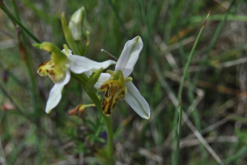 Ophrys apifera : forme de labelle et couleur étranges Dsc_1112