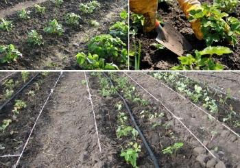 Как сажать клубнику весной  E13c4c10