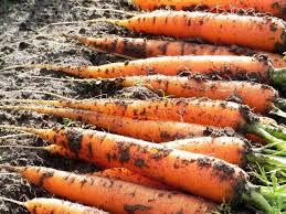 Сбор и хранение урожая моркови Images12