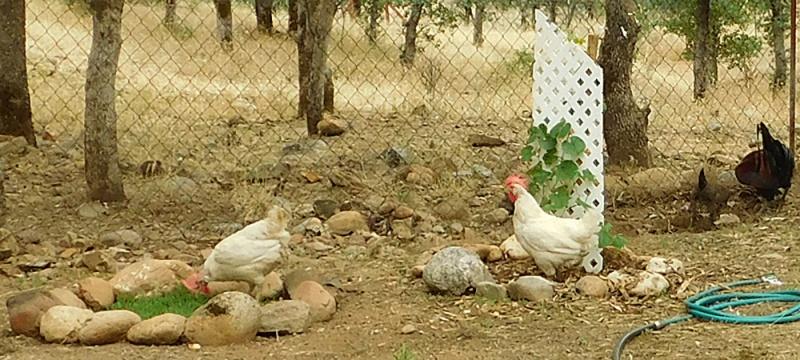Chicken Spa Chicke10