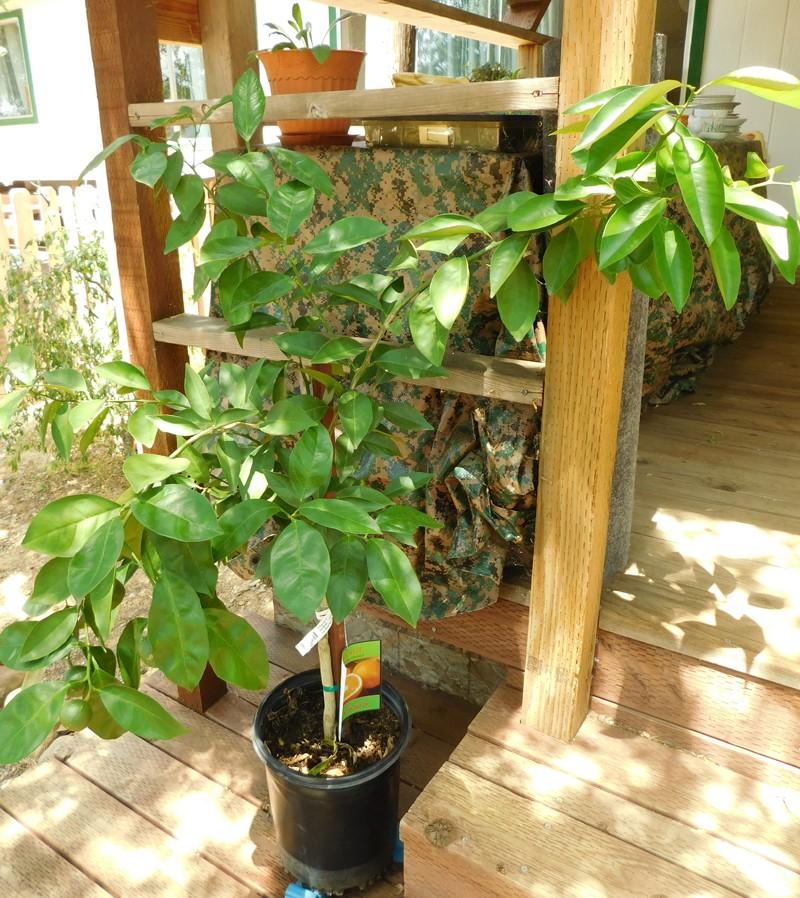 Does anyone have any fruit trees? Orange10