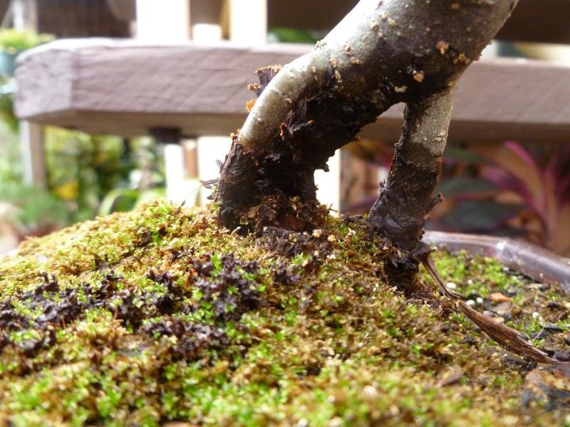 Wet black area on Pin Oak P1090010