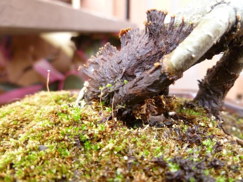 Wet black area on Pin Oak P1090111