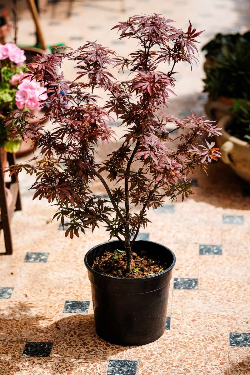 Acer Palmatum Shaina da vivaio - Come iniziare? Dscf2010
