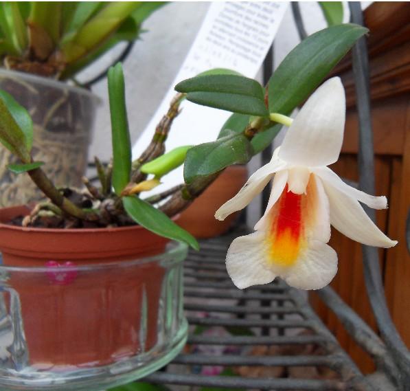 Dendrobium christyanum Dendro12