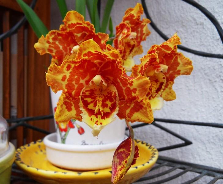 Brassia hybride Thym11