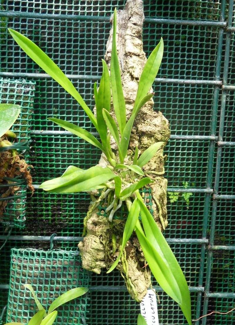 """Pourquoi rempoter à l'achat les orchidées """"industrielles"""" - Page 3 Wwwwww10"""