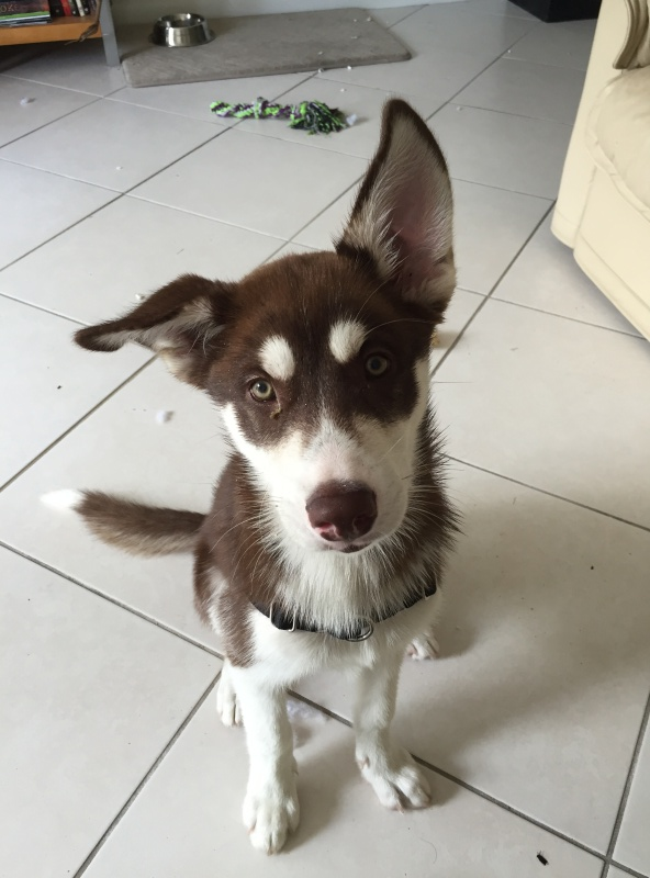 Our new husky pup! And questions about ears! Image27