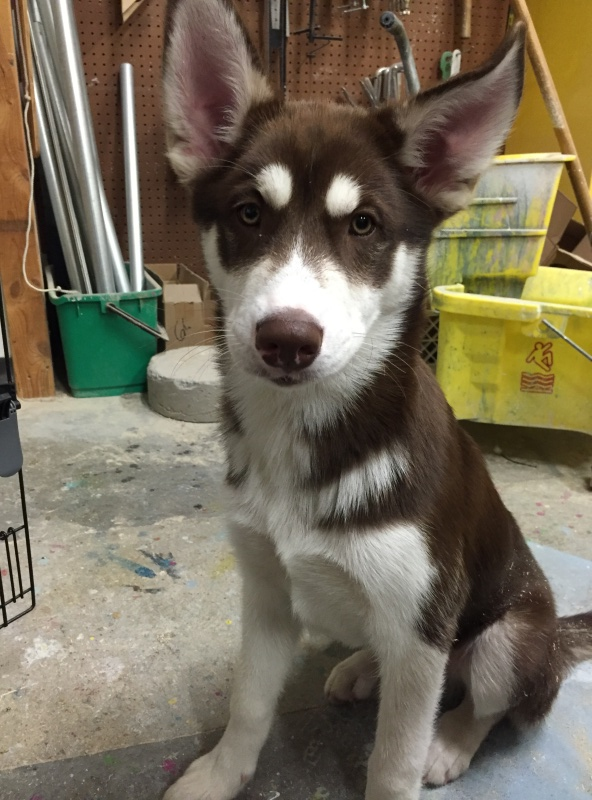 Our new husky pup! And questions about ears! Image33