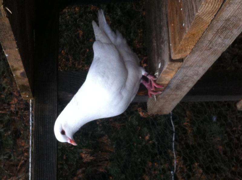 Photo de mon couple (King X Hubbel) Pigeon12