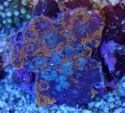 Stok coral pilihan JAVAREEF 1_1010