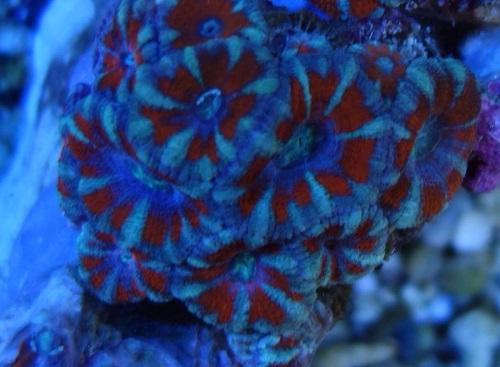 Stok coral pilihan JAVAREEF 1_1110