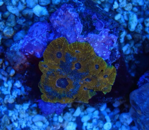 Stok coral pilihan JAVAREEF 1_1310
