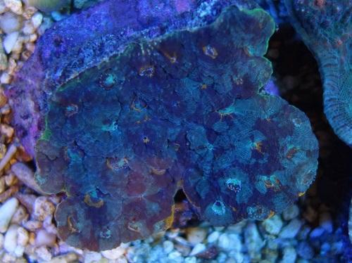 Stok coral pilihan JAVAREEF 1_1410