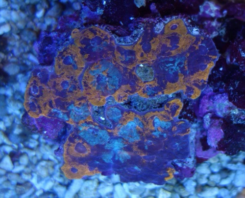 Stok coral pilihan JAVAREEF 1_210
