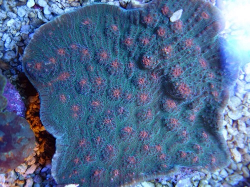 Stok coral pilihan JAVAREEF 1_310
