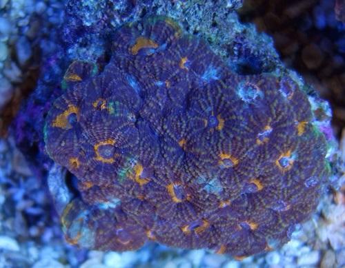 Stok coral pilihan JAVAREEF 1_510