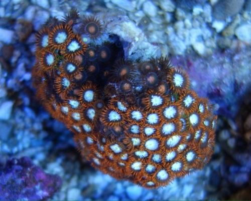 Stok coral pilihan JAVAREEF 1_610