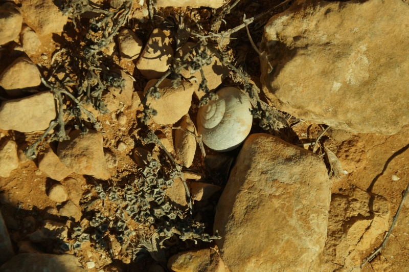 Petit coquillage du Maroc. Dsc03612