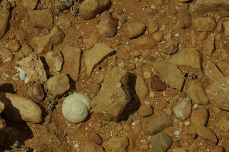 Petit coquillage du Maroc. Dsc03614