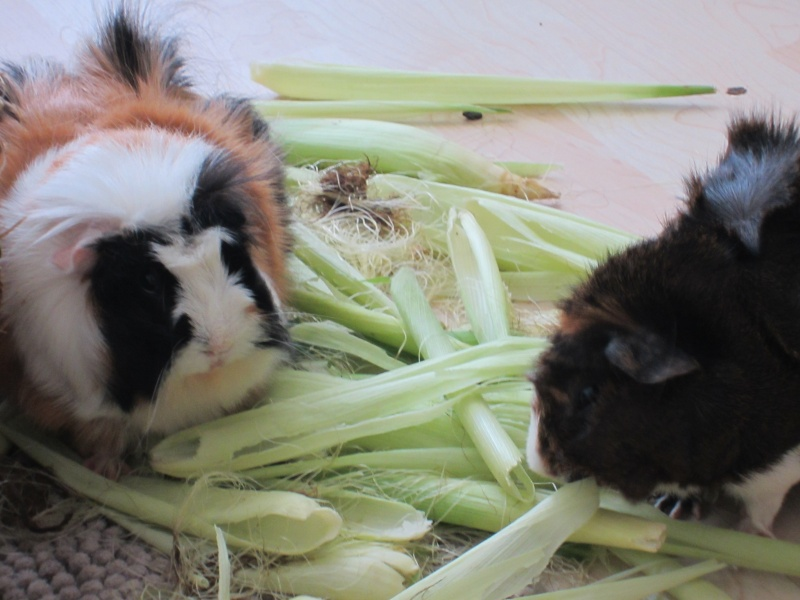 "Food for ""my"" guinea pigs Balu_m11"
