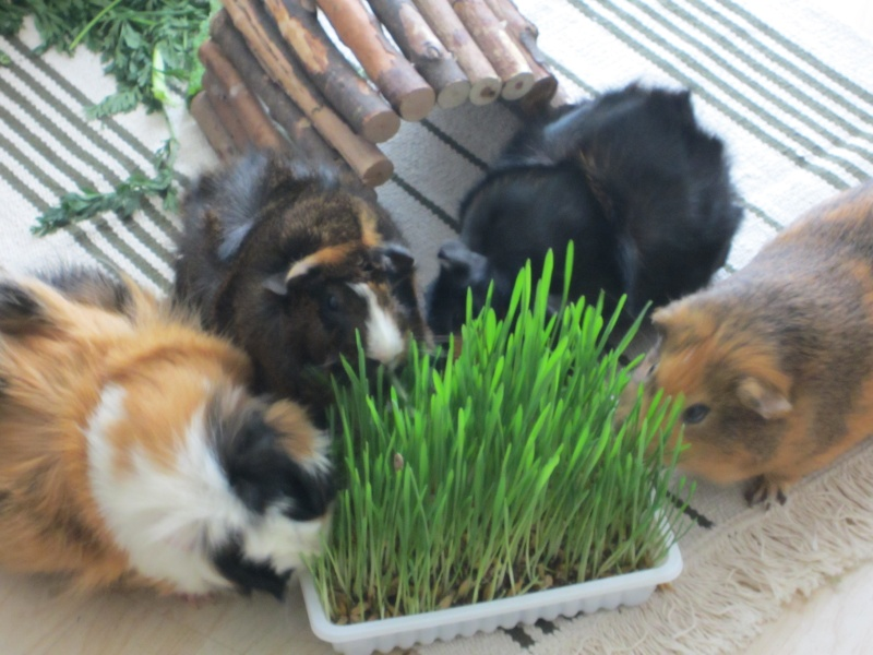 "Food for ""my"" guinea pigs Februa12"